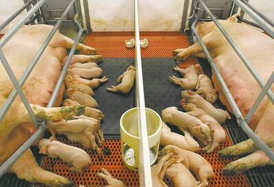 Sows and piglets in farrowing crates.