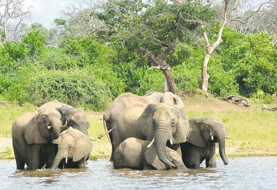 Elephants in the Okavango Delta in Botswana.