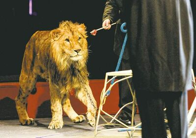 A lion has his eyes locked onto a piece of meat held by his handler at the Super Spring Break Circus, which held three shows at the MTS Centre this week.