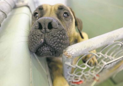 Vin Diesel, a mastiff available from animal services in its dog sale.