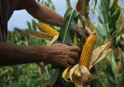 The head of the province's biggest farm group says the new corn could prove popular but cereal grains won't vanish.