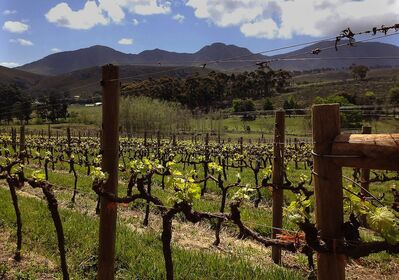 Grapes grow in a vineyard at Hamilton Russell Vineyards, in the Hemel-en-Aarde (Heaven and Earth) valley, near the whale-watching town of Hermanus in South Africa.