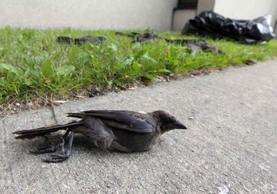 Dead grackles on King Street in August. The province says no further bird deaths have been seen.
