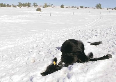 KRISTINA BARKER / RAPID CITY JOURNAL A frozen steer lies along Highway 34 east of Sturgis, S.D., another casualty of the early-October blizzard that hit the state.