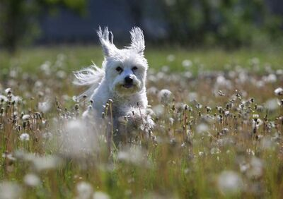 A shaggy white mixed breed dog named Elliott enjoys his morning run through a field of dandelions Saturday morning.
