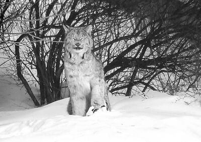 photo by Stephen Kirby-McDougallAuthorities snared the lynx and removed the trap from its paw.