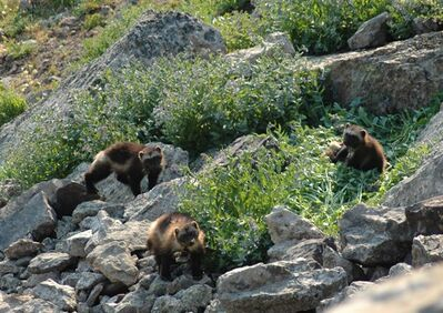 This July 2007 image provided by the Wildlife Conservation Society shows a female wolverine and her cubs taken in the Gravelly Range of southwest Montana. Wolverines need deep mountain snows to survive, but the government said Friday, Feb. 1, 2013, that anticipated warming temperatures in coming decades will shrink their habitat, putting the species in danger of extinction. (AP Photo/Wildlife conservation society, Mark Packila)