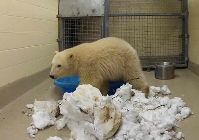 A eleven-month-old female polar bear cub settles in at the Assiniboine Park Zoo.