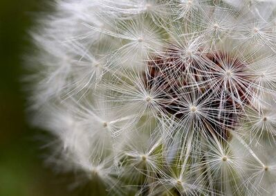 Some pesticides target dandelions.