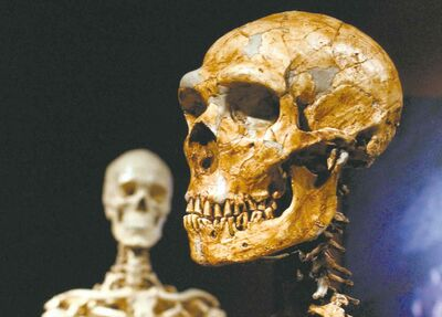 FILE - This Jan. 8, 2003 file photo shows a reconstructed Neanderthal skeleton, right, and a modern human version of a skeleton, left, on display at the Museum of Natural History in New York. Next time you call someone a Neanderthal, better look in a mirror. Much of the genes that help determine most people������s skin and hair are much more Neanderthal than not, according to two new studies that look at the DNA fossils hidden in the modern human genome. Scientists isolated the parts of the non-African modern human genetic blueprint that still contain Neanderthal remnants. Barely more than 1 percent comes from 50,000 years ago when modern humans leaving Africa mated with the soon-to-be-extinct Neanderthals. (AP Photo/Frank Franklin II, File)