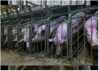 Screen grab image from 'Crated Cruelty, Canada's pork industry animal abuse exposed' website. A Mercy For Animals Canada undercover investigation that took place in 2012 looked into animal abuse at Puratone, one of the nation's largest pork producers located in Arborg, Manitoba.