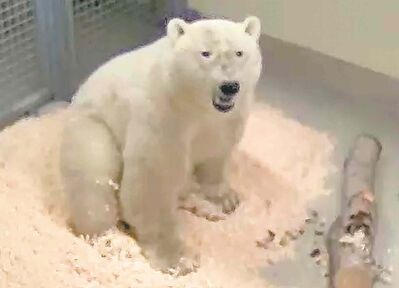 Life at the zoo will be much easier for this as-yet-unnamed bear from Churchill. It's tough work looking for food in the wild.