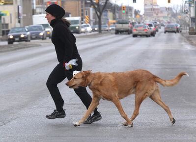 A pedestrian and her dog run across Notre Dame Avenue at Arlington Street this morning fighting the brisk south winds.