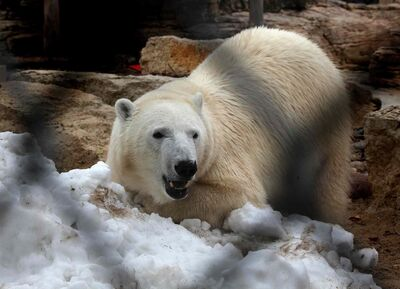 Hudson, Assiniboine Park Zoo's polar bear, woke up to a large birthday box and a special snowbank, both filled with fishy treats. Hudson turned two today.