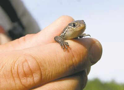 Manitoba's only lizard, the Prairie skink, is fond of the habitat at CFB Shilo.