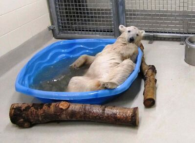 An orphaned polar bear cub relaxes after being brought to the International Polar Bear Conservation Centre at the Assiniboine Park Zoo in Winnipeg. The cub may soon be joined at the zoo by Arturo, a polar bear from Mendoza, Argentina.