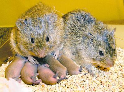 A monogamous couple of prairie voles with their happy little family.