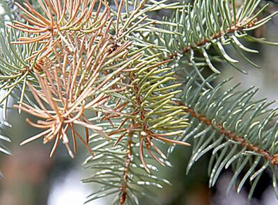 Tip blight causes needles on spruce trees to turn green-yellow.