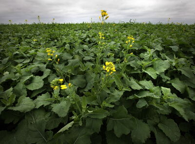 Canola sets out its first bloom in a field near Oak Bluff Friday.