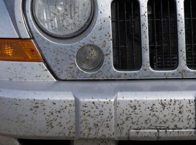 Cool weather and rain have created  a bumper crop of mosquitoes.