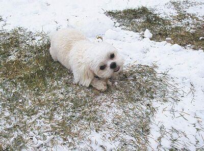 PeanutThis nine-month-old Shih Tzu lives in Winnipeg and loves to chew, chew and chew some more. Here she enjoys a rawhide stick outdoors before the grass disappears and she is hidden in the snow. � Elaine Wagner
