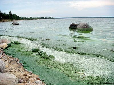 Blue-green algae washes onto Victoria Beach on Lake Winnipeg in August 2010.