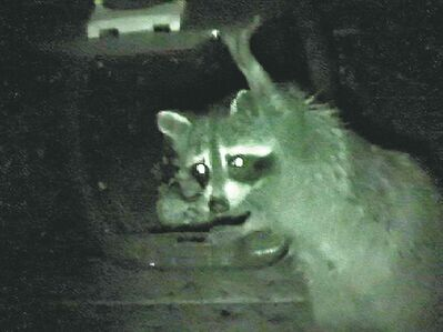 Raccoons are clever enough to open critter-proof containers.