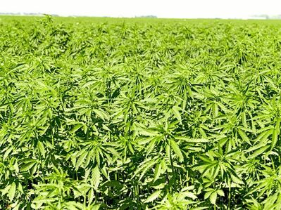 Activists have been struggling to legalize hemp for decades in the United States, but only recently has the issue seemingly caught fire in Congress.