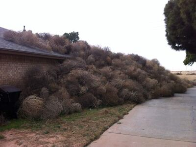 """Hundreds of tumbleweeds blown by blizzard winds are piled up against Josh Pitman's Midland, Texas home. Pitman says he recently tore down a fence that would have protected his home from the rambling weeds. In his words, """"Most ridiculous thing I've ever seen."""""""