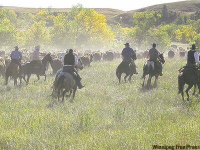 About 60 riders, cowboys and cowgirls, bring the herd in. Some win the spot by lottery, others are professional riders or invited guests.