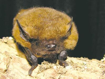 Bats inhabit limestone caves near Grand Rapids.