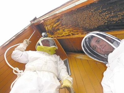 photo courtesy Vic Bachman / The Associated Press Vic Bachman  (left) and partner Nate Hall  prepare to remove a 3.6-metre-long beehive from an A-frame cabin in Eden, Utah.  It was the  biggest beehive the beekeepers have ever  removed,  containing about 60,000 honeybees.