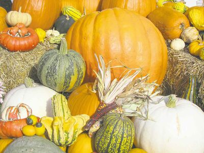 There are countless varieties of pumpkins in all shapes, sizes and colours. Combine with ornamental gourds, straw bales and Indian corn for colourful outdoor creations. Protect from frost and moisture for long-lasting displays.