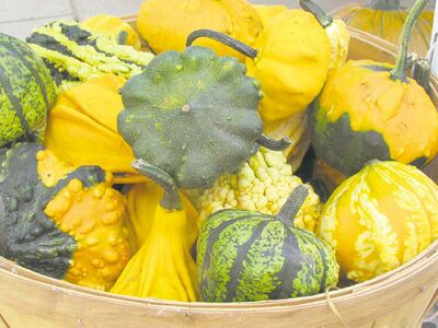 At right, ornamental gourds comes in all sizes, shapes and colours. They make delightful additions to indoor and outdoor holiday arrangements.