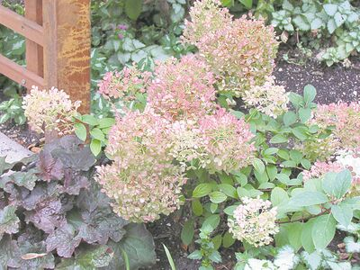 The blooms of hydrangeas fade to a tan colour in the winter months and provide interest above the snow line. Prune your hydrangeas in the early spring. Protect the crown of both hydrangeas and heuchera with a mound of leaves or compost.