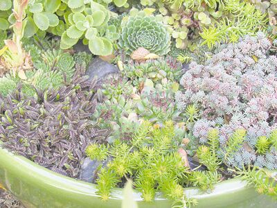 Hardy containerized succulents can be sunk into the ground, container and all, just to the level of the soil surface. Cover with a protective layer of clean soil or leaves.