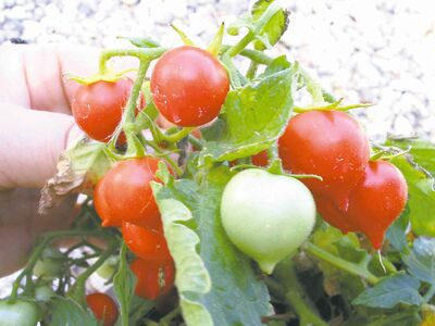 Growing to only 8 inches high, Micro Tom is an abundant producer that was bred at the University of Florida. One of the world's smallest cherry tomatoes, plant this determinate variety in a small container on your patio.