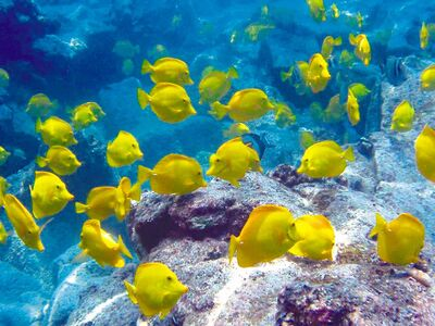 A school of yellow tang. They are the most commonly caught species on the Big Island's west coast.