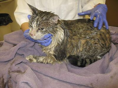 BooBoo the cat, a seven-year-old long-haired mix, returned to his south St. Vital home on Friday morning soaked in motor oil. Centennial Animal Hospital had to shave off the cat's fur and it's believed his eyesight might be affected.