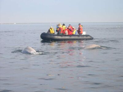 Beluga whales feeding near a Zodiac operated by SeaNorth Tours.