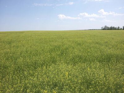 Submitted</p><p>Camelina is likely never going to supplant canola, but there are oilseed experts who believe the ancient crop has plenty of promise.</p></p>