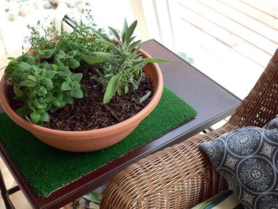 A medicinal indoor herb garden with healthful herbs for growing during winter months, from left, lemon balm, French thyme, and sage. (AP Photo/Jennifer Forker)
