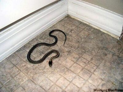 A snake that the Sessions family caught is seen at the home they purchased near Rexberg, Idaho.