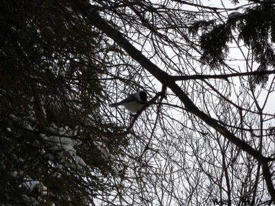 One of the dive-bombing Chickadees at Birds Hill Provincial Park.