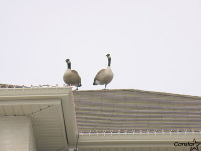 Geese on a rooftop on Royalwood.