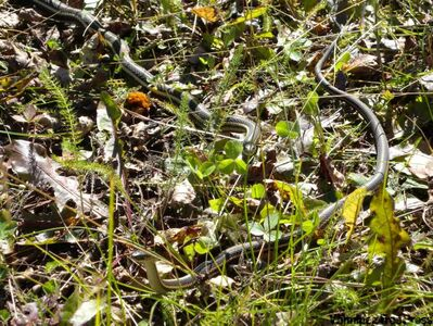 Snakes at the Narcisse Snake Dens.