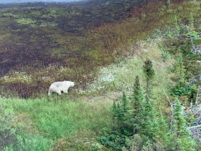 The terrain where the accused killers might be hiding out is dense bush, which is dangerous. It is the stomping ground of polar bears. RCMP took this photo of a polar bear during the search for the fugitives. (RCMP handout)