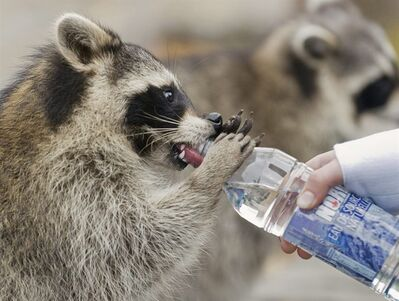A raccoon drinks from a bottle held by a woman in Mount Royal park in Montreal, in this Sept. 26, 2010 photo. A Toronto man faces weapons and animal cruelty charges after police allege a family of raccoons was attacked with a shovel. THE CANADIAN PRESS/Graham Hughes