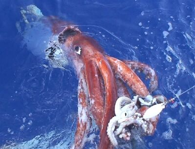 In this photo released by Tsunemi Kubodera, a researcher with Japan's National Science Museum, a giant squid attacking a bait squid is being pulled up by his research team off the Ogasawara Islands, south of Tokyo, on Dec. 4, 2006. In recent years giant squid have made an appearance off the West Coast, and now new research is shining some light on the B.C. sea monsters and their siblings. THE CANADIAN PRESS/AP/Tsunemi Kubodera of the National Science Museum of Japan, HO **CREDIT MANDATORY, EDITORIAL USE ONLY**