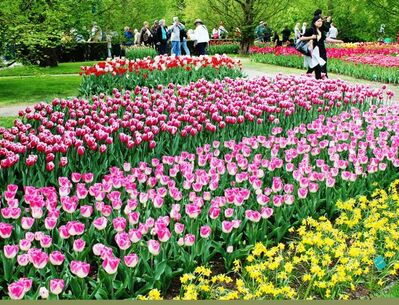 Keukenhoff Gardens in Holland plants seven million tulips annually for show and to ship around the world.